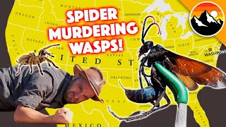 SPIDER-MURDERING WASPS - 10 Things You Probably Need to Know! by Brave Wilderness
