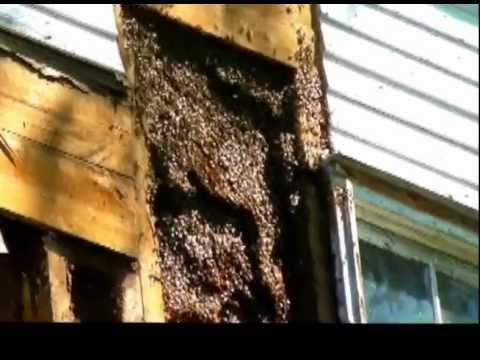 Amish guy romoves Giant huge Honey bee hive in the wall of the house