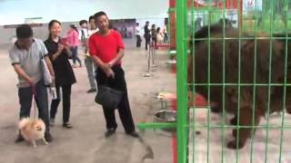Nonton Tibetan Mastiffs Star At Dog Expo Film Subtitle Indonesia Streaming Movie Download