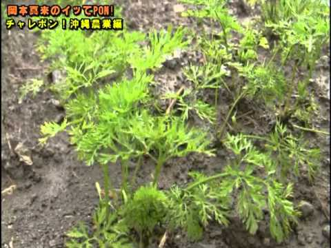 喜屋武農業チャレポン  岡本真来が沖縄で農業にチャレンジ