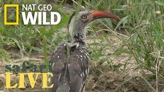 Safari Live - Day 111 | Nat Geo Wild by Nat Geo WILD