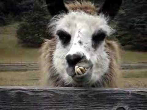 Dude Meets the Llama of His Nightmares