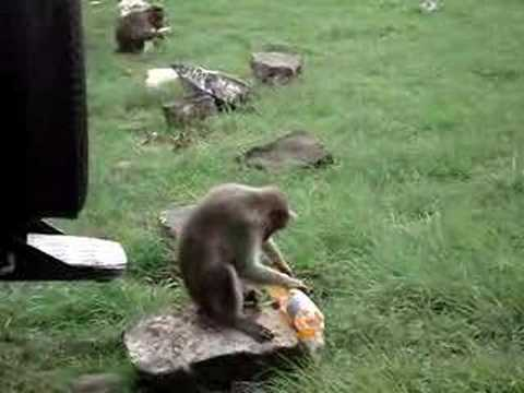 Monkey Tries To Drink Soda