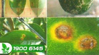 Trồng trọt | Thuốc đặc trị bệnh ghẻ lá trên cây cam