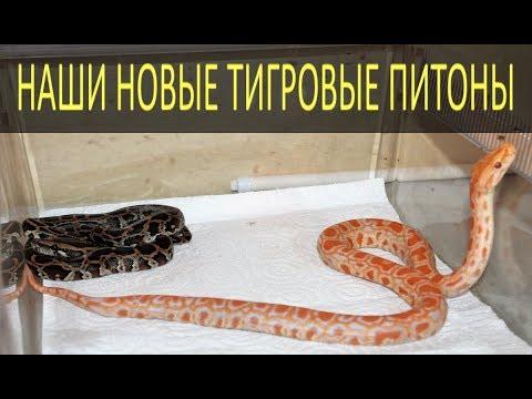 ТИГРОВЫЕ ПИТОНЫ! Немного о змеях гигантах!