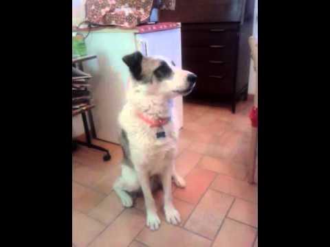 """un cane che sa dire """"mamma"""" - davvero incredibile!"""