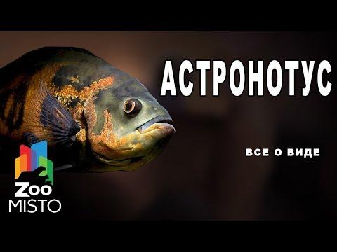 Астронотус - Все о виде рыбы