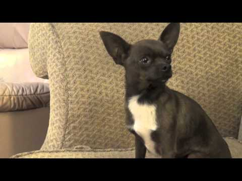 Happy Trail's Chocolate Chip – Chihuahua Stud For Hire – $250.00 Fredericksburg, VA
