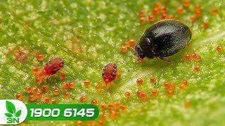 Trồng trọt | Diệt trừ nhện gây hại và khắc phục bệnh thối rễ cho cây cam