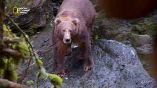 Nez à nez avec un ours kodiak