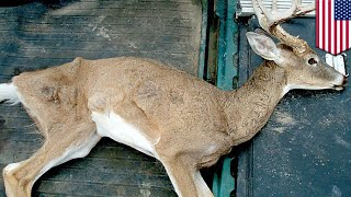 Zombie deer disease: Contagious brain-wasting disease could spread to humans next - TomoNews