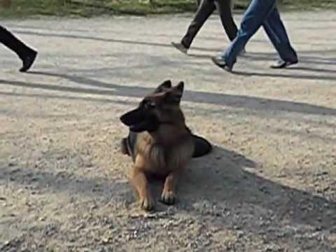 βασική υπακοή  stay εκπαίδευση σκύλων  argus
