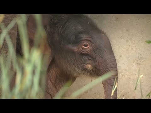 Brugelette/Belgien: Geburt eines Elefanten in belgisc ...