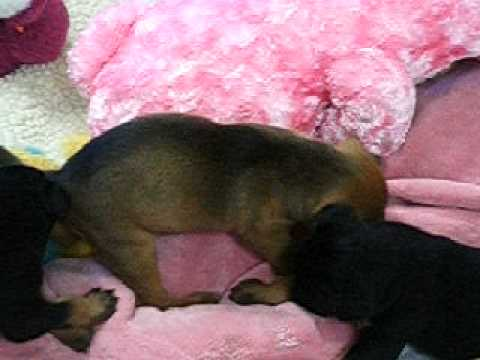The puppies are growing and changing daily. Here are three of them at ...