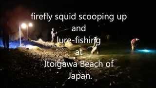 Itoigawa Japan  city photos gallery : firefly squid scooping up and lure-fishing at Itoigawa Beach of Japan.