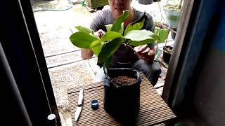 Video STeK (Cutting) TanPa SuNgKuP (plant cuttings without cover) in plant water guava MP3, 3GP, MP4, WEBM, AVI, FLV Juli 2018