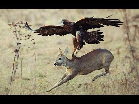 owl - See these predator eagles take down an Owl, Deer and a Wolf.