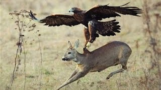 Top 3 Best Eagle Attacks (OWL, DEER & WOLF) - YouTube