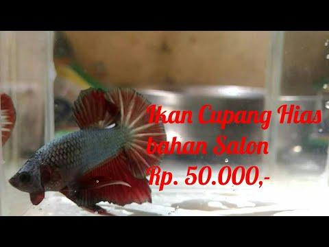 Download Video Ikan Cupang Hias Bahan Salon Rp. 50.000