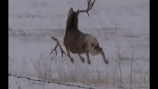 Jeleń gubi poroże w ciągu jednej minuty. Akcja od 0:14
