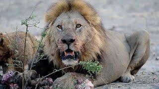 Video LIONS VS HYENAS - Clash of Enemies MP3, 3GP, MP4, WEBM, AVI, FLV Maret 2019
