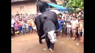 Video Indonesian Javanese cultural art of dance ''banteng macan Singo Barong ngesti wargo budoyo part 2 MP3, 3GP, MP4, WEBM, AVI, FLV Agustus 2018