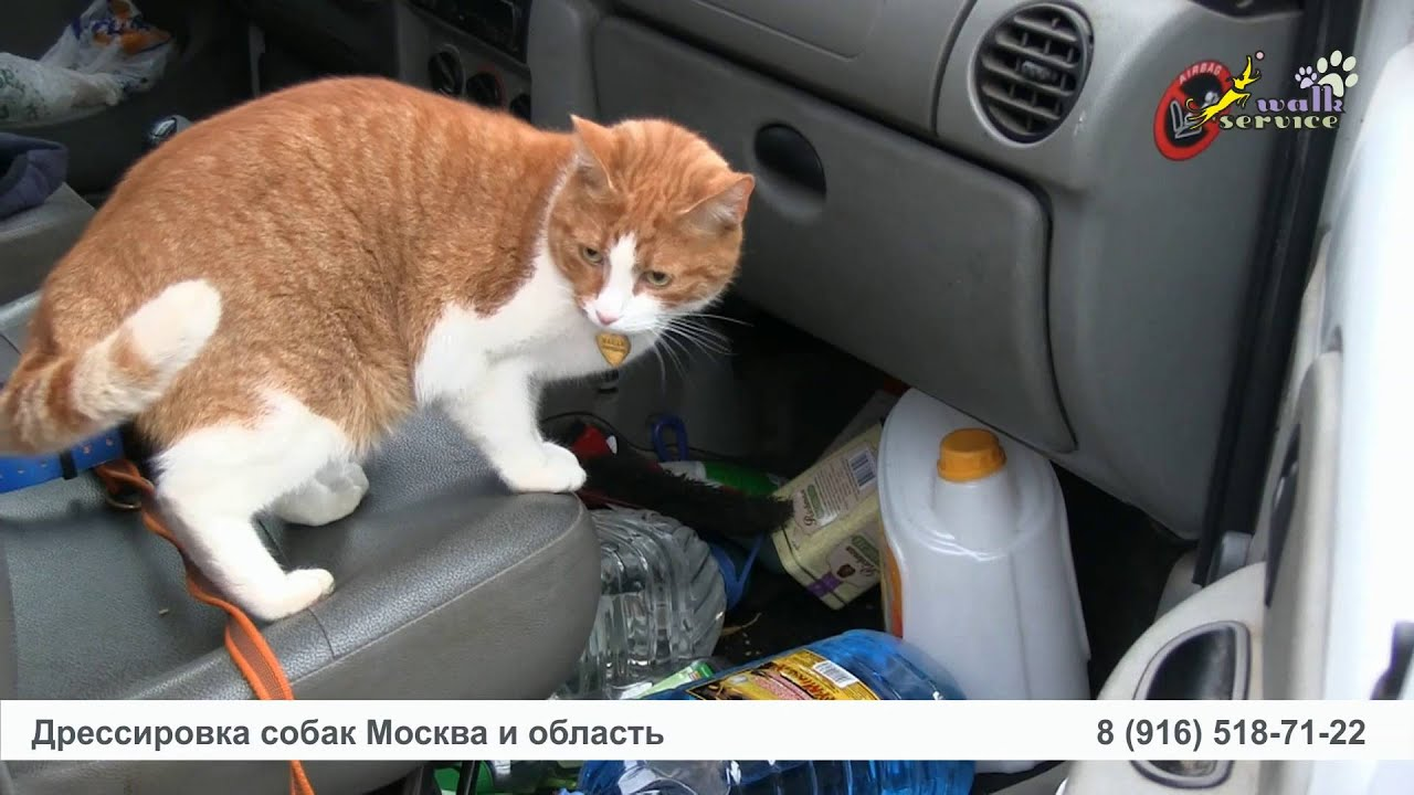 Смотреть онлайн уроки дрессуры: Кот и порселен