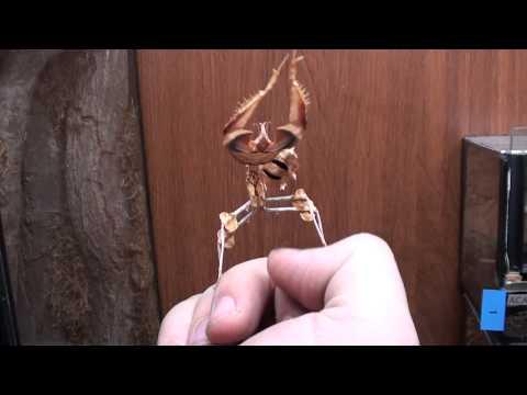 Mantis Religiosa vs dedo pulgar