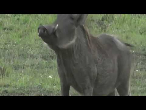 Video Oct 29 2017- Sunset - Warthogs smelling the Lions with Brent in the Mara download in MP3, 3GP, MP4, WEBM, AVI, FLV January 2017