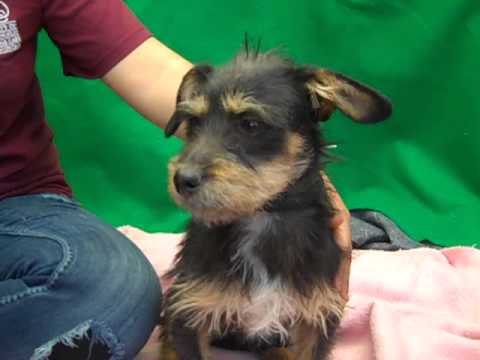 kibbles - Kibbles is a scruffy six month old black and tan male Terrier puppy who was found in Huntington Park on February 26th and brought to the Downey Animal Care C...