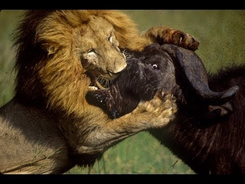 Lions - An amazing wildlife documentary on the life of wild lions. tags: lion documentary, lion documentary national geographic, lion documentary 2014, lions documen...