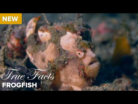 True Facts About the Frogfish