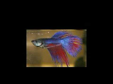 Betta Fish Slide Show