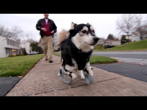 Watch Derby The Dog Run For The First Time With 3D Printed Legs