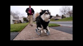 Designs that matter... Handicap Dog Gets New 3D Printed Bionic Legs!