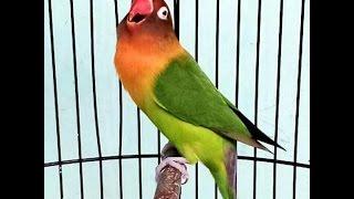 Video Burung Love Bird jawara Cerewet Ngekek Panjang !!!Pemancing Love Bird MP3, 3GP, MP4, WEBM, AVI, FLV September 2018
