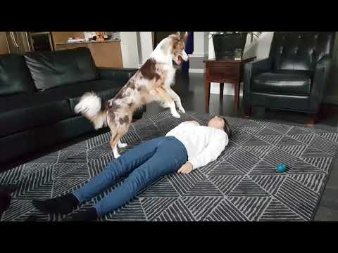 Clever Dog Learns to Perform CPR on Her Humans
