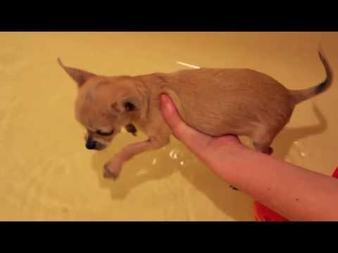 Chihuahua Puppies First Bath !!!!