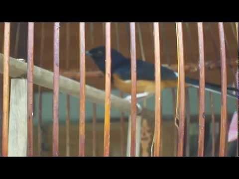 นกบินหลาดง โคกโพธิ์ ปัตตานี