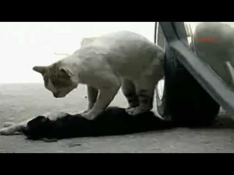 Кот пытается оживить кошку