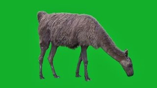 GREEN SCREEN ANIMALS - ALPACA