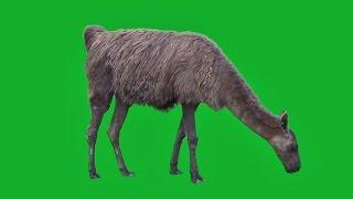 GREEN SCREEN ANIMALS - ALPACA