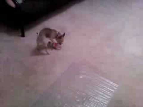 Chihuahua vs. Soda Bottle