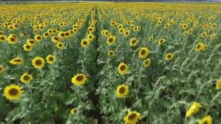 maui started with biofuel using sunflowers. drone by maui digital images http://www.facebook.com/PureDigitalMedia http://www.instagram.com/PureDigitalMediahttps://www.linkedin.com/vsearch/f?adv=true&trk=federated_advs
