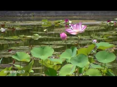 水面に揺れる神秘の花 本福寺水御堂