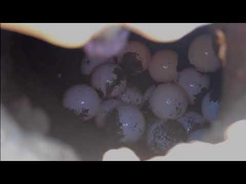 Especie lora, la más amenazada por robo de huevo de tortuga