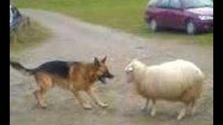 شوف الكلب مع الخروف مين هيكسب