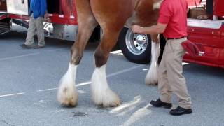 Charles Town (WV) United States  city photos gallery : Budweiser Clydesdale Horses in Charles Town, WV 2016