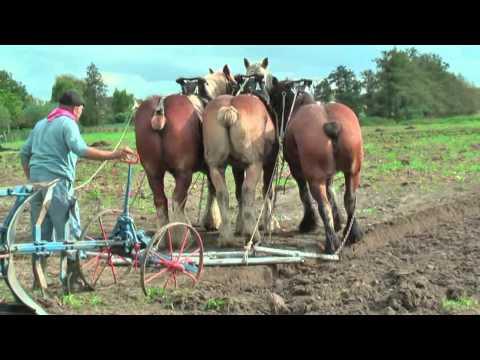 Strong Belgian Draft Horses Working on the Farm - Merelbeke