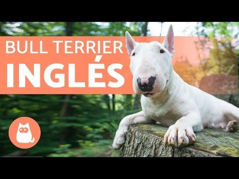 le caratteristiche del bull terrier